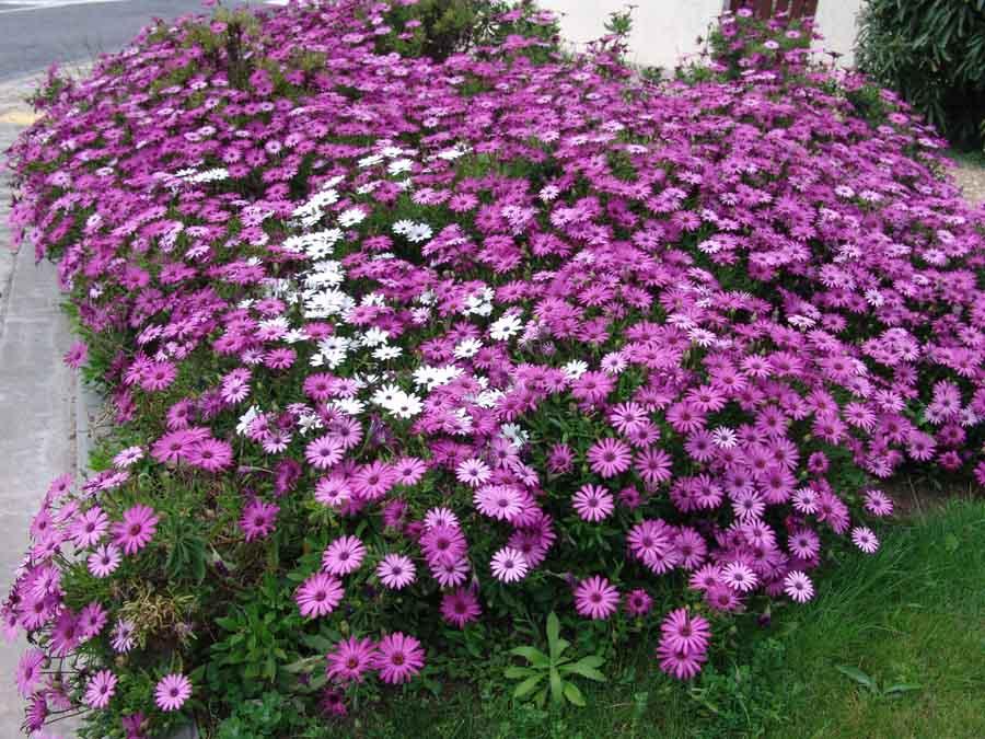 Massif de fleurs au soleil id e d 39 image de fleur - Fleurs vivaces d ete plein soleil ...